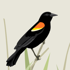 Red-winged Blackbird vector